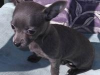 If you want a really tiny tiny blue Chihuahua female
