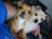 Chihuahua - Tiya & Brea - Small - Baby - Female - Dog