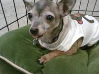 Chihuahua - Toby - Small - Adult - Male - Dog Poor Toby