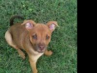 Chihuahua - Toodie - Medium - Baby - Female - Dog