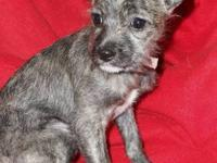 Chihuahua - Tootsie - Small - Baby - Female - Dog