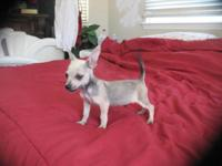 Purebred Chihuahua Toy pup. Male. 3 months old, 2nd