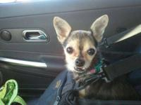 Chihuahua - Trista - 3.9 Lbs - Small - Senior - Female