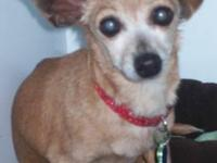 Chihuahua - Trixie Michelle - Small - Senior - Female -