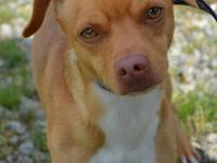 Chihuahua - Trooper - Small - Young - Male - Dog 9 mos