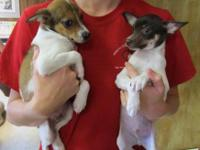 Chihuahua - Trudy - Small - Baby - Female - Dog Trudy