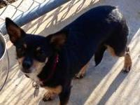 Chihuahua - Twila - Medium - Adult - Female - Dog Twila