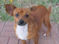 Chihuahua - Tybee - Small - Young - Female - Dog Tybee
