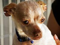 Chihuahua - Underdog - Small - Adult - Male - Dog