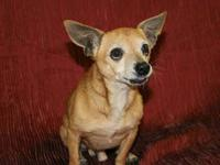 Chihuahua - Vegas - Small - Adult - Male - Dog A141537