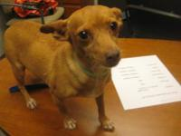 Chihuahua - Very Cute - Small - Adult - Female - Dog
