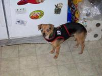 Chihuahua - Waffles-5f13 - Small - Young - Female -