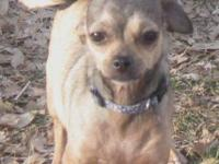 Chihuahua - Wee One - Small - Adult - Female - Dog