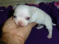 MEET MISTY;S TINY WHITE MALE PUPPY BORN ON 01/25/13.