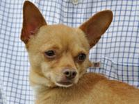 Chihuahua - Wilbur - Small - Adult - Male - Dog Wilbur