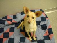Chihuahua - Wiley - Small - Adult - Male - Dog Wiley is