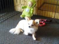 1 year old longhair chihuahua. Have papers for