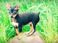 Just 3 left! 8 week aged chihuahua MinPin mix puppies.
