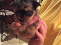 Chihuahua x yorkie pup Merle ready after 10/31 $200 and