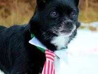 Chihuahua - Xing - Local (ct) - Small - Adult - Male -
