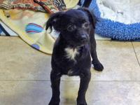 Chihuahua - Annie Oakley Ct - Small - Baby - Female -