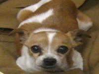Chihuahua - Bobbie - Small - Adult - Female - Dog