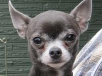 Chihuahua - Bodee - Small - Adult - Male - Dog Senior