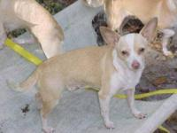 Chihuahua - Buddy - Small - Young - Male - Dog Hello my