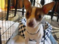 Chihuahua - Butchie - Small - Young - Male - Dog