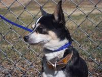 Chihuahua - Cappy - Small - Senior - Male - Dog Cappy