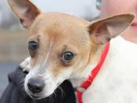 Chihuahua - Chanel - Small - Adult - Female - Dog
