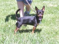 "Chihuahua - "" Chester "" 196-12 - Small - Young - Male -"