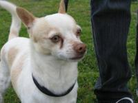 Chihuahua - Chico - Small - Adult - Male - Dog Chico is
