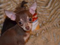Chihuahua Puppies. CKC Registered all shots and worming