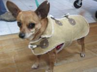 Chihuahua - Crosby - Small - Senior - Male - Dog My