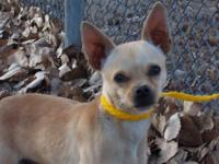 Chihuahua - Desi - Small - Adult - Male - Dog Desi is a