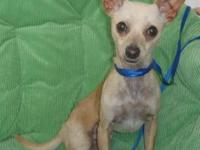 Chihuahua - Diego - Small - Young - Male - Dog   NAME: