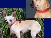 Chihuahua - Gizmo (ms America) - Small - Senior -