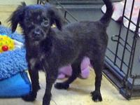 Chihuahua - Harley Ny - Small - Baby - Female - Dog