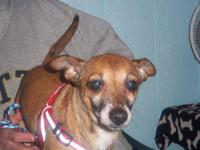 Chihuahua - Hobo---adopted - Small - Adult - Male -