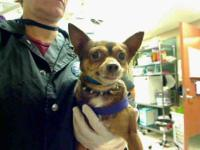 Chihuahua - Leo - Small - Adult - Male - Dog Leo is the