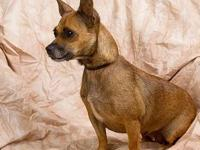 Chihuahua - Lily - Small - Adult - Female - Dog Lily is