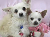 Chihuahua - Little Bit & Molly - Small - Senior -