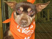 Chihuahua - Matthew - Small - Senior - Male - Dog