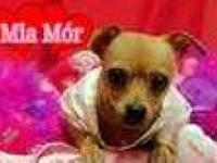 Chihuahua - Mia - Small - Baby - Female - Dog Oh my