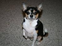 Chihuahua - Milo - Small - Young - Male - Dog