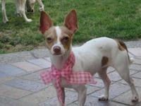 Chihuahua - Miss Daisy - Small - Young - Female - Dog