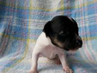 We have 4 chiweenie puppies mommy is a chiweenie (more