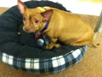 Chihuahua - Momma-low Maintenance - Small - Young -