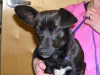 Chihuahua - Nico - Small - Adult - Male - Dog very nice